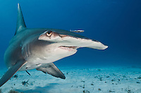 RR1808-Dm. Great Hammerhead Shark (Sphyrna mokarran), a large and solitary species growing to 20 feet long, found worldwide in tropical seas. Bahamas, Atlantic Ocean. Bait on sand and two fish in background digitally removed in Photoshop.<br /> Photo Copyright &copy; Brandon Cole. All rights reserved worldwide.  www.brandoncole.com