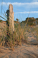 Dead Tree Stump and Grasses in Sand Dune, Pinery Provincial Park, Ontario, Canada