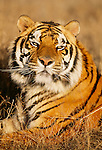 Bengal tiger portrait