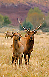 Male &amp; Female Tule Elk together in the foothills of the Eastern Sierra California.
