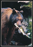 FB 342  Black Bear with salmon, 5x7 postcard
