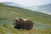 Musk Ox female (Ovibos moschatus), Dovrefjell National Park, Norway
