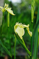 Iris pseudacorus 'Rowden Brimstone'