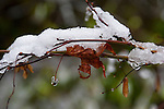 Snow covered Japanese Red Maple leaves, fine art, environmental, nature, ecology, ecosystem, environmentalism,    ©2012. Jim Bryant Photo. ALL RIGHTS RESERVED.