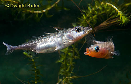 1S47-511z Threespine Stickleback, male courting gravid female with a zigzag dance, she responds with a head-up posture to display her swollen belly, Gasterosteus aculeatus