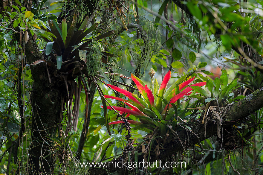 Bromeliads (Bromeliaceae) in the rainforest canopy. Serra dos Tucanos, Brazilian Atlantic Rainforest, Brazil.