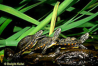 1R13-096a  Painted Turtle - young in pond sunning themselves  - Chrysemys picta