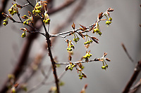Paperbark Maple flowers in early spring. (Acer griseum)