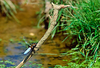 Dragonfly on riverbank, UK