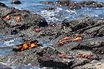 Las Bachas Beach, Santa Cruz Island, Galapagos, Ecuador; Sally Lightfoot Crabs (Grapsus grapsus) on the volcanic rocks at the shore by the water's edge , Copyright © Matthew Meier, matthewmeierphoto.com All Rights Reserved