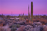 Desert Dawn, Catavina Desert, Baja California, Mexico.  Pastel pinks and blues rise over the boojum trees, giant cardon cacti and stranded granite boulders of Baja's inland desert.  As any hiker can attest, the land is exceedingly rugged, the result of violent volcanic activity, lava flows and earthquakes.