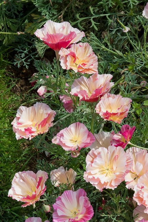 Eschscholzia Apple Blossom aka Appleblossom in pink flowers, California Poppy