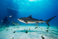 Tiger Shark, Galeocerdo cuvier, Lemon Sharks, Negaprion brevirostris, scuba divers and boat, West End, Grand Bahama, Atlantic Ocean