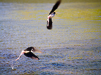 Two Hawaiian stilts (a.k.a. ae'o) take flight from a pond at Waikoloa on the Big Island.