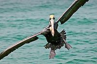 Brown pelican coming in to land off the Florida coast in the Gulf of Mexico by Anna Maria Island, United States of America
