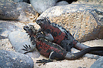 The Southeastern Island of Espanola in the Galapgos National Park, in Ecuador, South America which is home to sea lions, marine iguanas, blue footed boobies, and Nazca Boobies plus many different species of animals and birds. A pair of endemic marine iguanas resting on the rocks