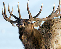 NEWS&GUIDE PHOTO / PRICE CHAMBERS.This big bull elk eyes traffic on Hwy. 89 from the safety of the National Elk Refuge on Sunday. About the same as last year, the elk harvest for 2008 on the refuge is 122 animals with hunters still reporting their kills.