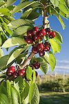 Skeena Cherries at Shirley&quot;s LLC Orchard in East Wenatchee, Washington..Douglas County