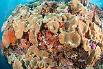 Bligh Waters, Vatu I Ra Passage, Fiji; a rocky pinnacle covered in Toadstool Mushroom Leather Coral, pink and purple soft corals, sea fans and orange sponges, is surrounded by Scalefin Anthias fish