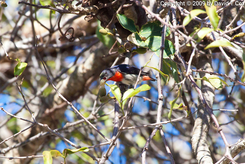 Mistletoebird, Cairns, Queensland, Australia
