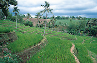 Philippines. Negros Island. Province of Negros Occidental, located in the  Western Visayas region. Barangay (village) La Carlotta. Organic rice fields. Rice growing. Terrace cultivation. Sustainable agriculture.  © 1999 Didier Ruef..