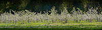 20100507 UVM Horticulture Farm, Spring Views, Apple Blossoms