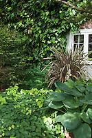 Shade landscaping with blue hosta, Epimedium x perralchicum Frohnleiten, Phormium, Hedera colchica vine on house with window visible