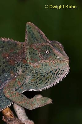 CH51-522z  Female Veiled Chameleon in display color, note eye rotation, Chamaeleo calyptratus