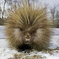 Closeup Porcupine Portrait