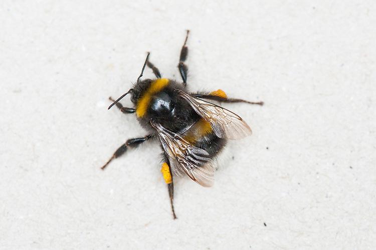 Buff-tailed bumblebee (Bombus terrestris).