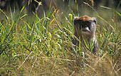 Patas Monkey (Erythrocebus patas) in grass, Africa.