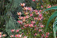 Leucadendron 'Safari Sunset' conebush flowering in San Francisco Botanical Garden