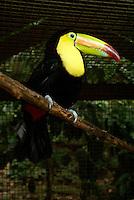 Keel-billed toucan (Ramphastos sulfuratus) at the Macaw Mountain Bird Park, Copan, Honduras