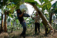 A young Colombian boy carrying a bunch of crude bananas on the banana plantation in Aracataca, Colombia, 14 March 2006. Eighty percent of the exported bananas in the world are grown in Latin America. Local farms have no other alternative than to sell for a price offered by the multinational company. When working conditions and ecology is in question, the corporations do not have any responsibility as they do not own plantations. Local governments in the attempt of organizing banana export provide low duty taxes on export, they try to eliminate social and enviromental politics to attract the big companies to their countries.