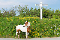 Skewbald Pony, Equus caballus, escaped from field and taking a stroll near East Youlstone in North Devon, UK