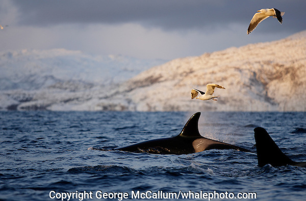 killer whales surfacing and spouting during feeding event, gulls above, Tysfjord, Arctic Norway