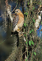 Red-shouldered Hawk, Buteo lineatus,Corkscrew Swamp Sanctuary, Florida, USA