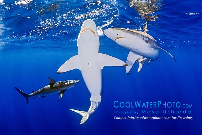 Galapagos sharks, Carcharhinus galapagensis, North Shore, Oahu, Hawaii, USA, Pacific Ocean