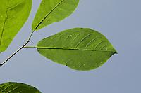 Gewöhnliche Traubenkirsche, Trauben-Kirsche, Blatt, Blätter vor blauem Himmel, Prunus padus, European Bird Cherry