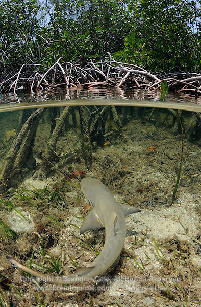 qa32749-D. split view of young Lemon Shark (Negaprion brevirostris) swimming among roots of mangroves. Bahamas, Atlantic Ocean..Photo Copyright © Brandon Cole. All rights reserved worldwide.  www.brandoncole.com..This photo is NOT free. It is NOT in the public domain. This photo is a Copyrighted Work, registered with the US Copyright Office. .Rights to reproduction of photograph granted only upon payment in full of agreed upon licensing fee. Any use of this photo prior to such payment is an infringement of copyright and punishable by fines up to  $150,000 USD...Brandon Cole.MARINE PHOTOGRAPHY.http://www.brandoncole.com.email: brandoncole@msn.com.4917 N. Boeing Rd..Spokane Valley, WA  99206  USA.tel: 509-535-3489