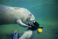 Photo KI-1892. West Indian Manatee (Trichechus manatus) interacts with swimmer (Niki Konstantinou), Model Released.  Also known as Florida Manatee. Crystal River, Florida, North America. ..Photo Copyright © Brandon Cole. All rights reserved worldwide.  www.brandoncole.com.This photo is NOT free. It is NOT in the public domain..Rights to reproduction of photograph granted only upon payment in full of agreed upon licensing fee. Any use of this photo prior to such payment is an infringement of copyright and punishable by fines up to  $150,000 USD...Brandon Cole.MARINE PHOTOGRAPHY.http://www.brandoncole.com.email: brandoncole@msn.com.4917 N. Boeing Rd..Spokane, WA  99206  USA.tel: 509-535-3489.