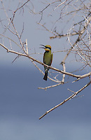 October 22nd 2003-East Timor-A Rainbow Bee-eater sit in a tree at a place known as Dollar Beach, near a small village called Behau, East of the capital Dili.  Daniel J. Groshong/Tayo Photo Group