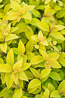 Spiraea japonica 'Goldflame' in spring color foliage