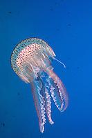 Pelagia noctiluca , Leuchtqualle, Luminescent jellyfish