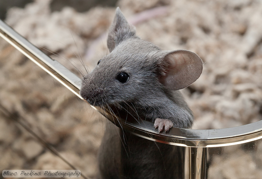 A gray male mouse pulls himself up over the edge of the plastic cage to peer off into the distance.