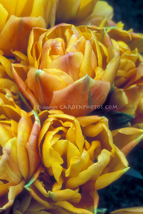 Tulipa Freeman aka Freman spring bulb tulips orange colored