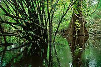 Swamp forest called Mata de Igapo in Mamiraua Sustainable Development Reserve, Amazonas, Brazil.