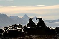 Walrus / Obdobenus rosmarus<br /> Prins Karls Forland<br /> Svalbard<br /> Norway