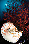 Chambered nautilus against red fan coral - nautilus pompilius