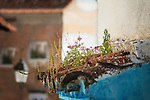 Plants grow on a small roof above entrance door of a house in Chefchaouen, Morocco.